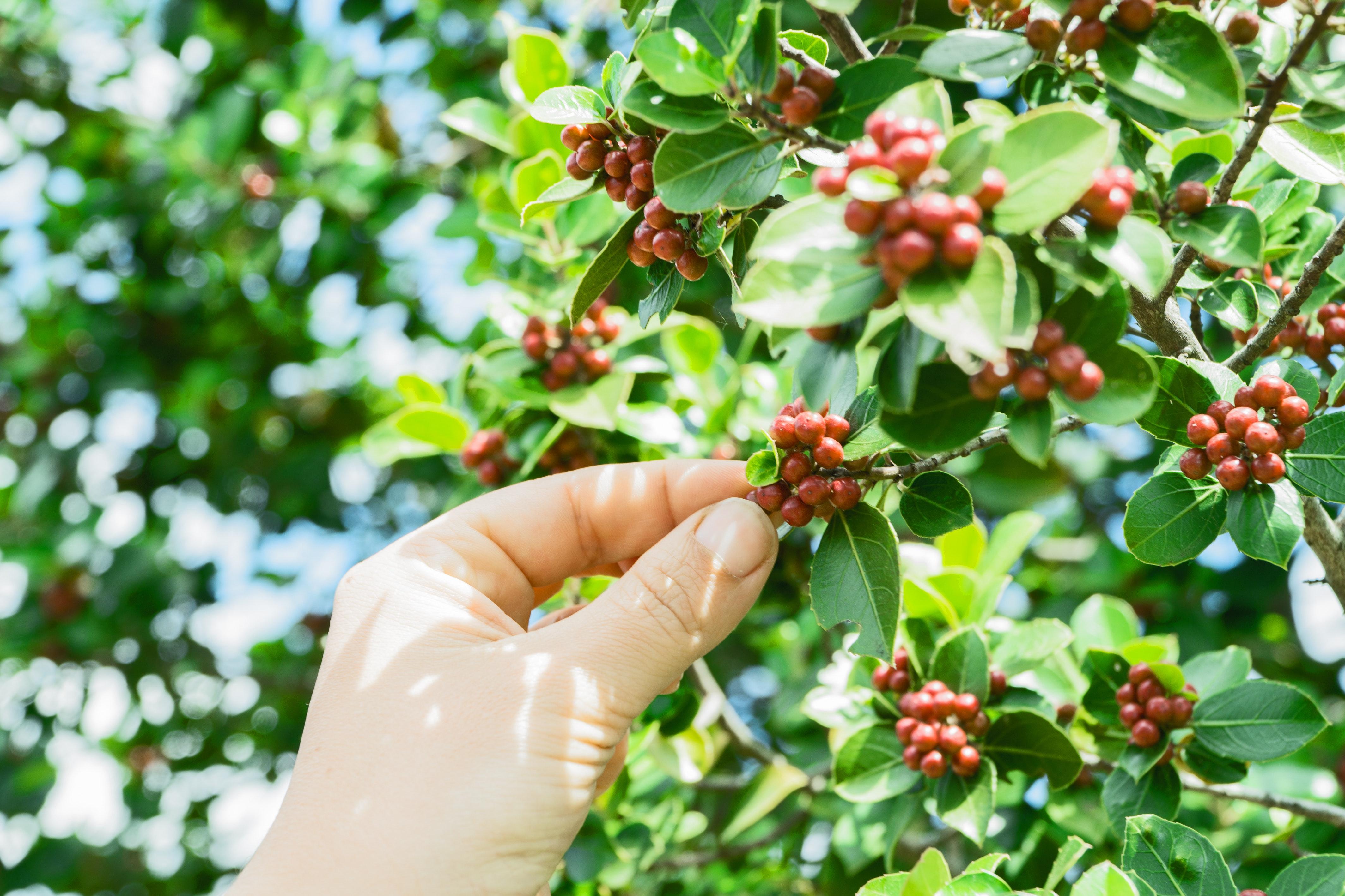 Colheita de café, agropecuária